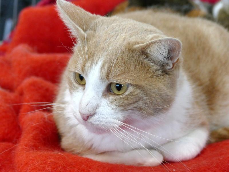 TIGROU  chat MALE ROUX et BLANC né en 2012 (sauvetage de Grandcamp-Maisy) En panier retraite P1160131