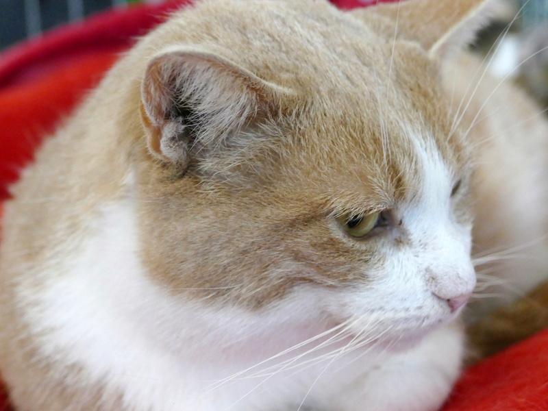 TIGROU  chat MALE ROUX et BLANC né en 2012 (sauvetage de Grandcamp-Maisy) En panier retraite P1160132