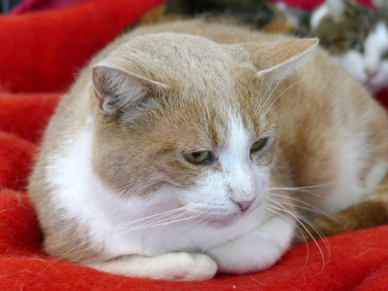 TIGROU  chat MALE ROUX et BLANC né en 2012 (sauvetage de Grandcamp-Maisy) En panier retraite P1160133