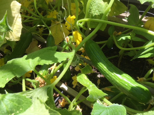 Cucumbers - Page 2 Cucumb13