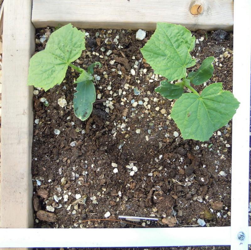 Spacing of plants Planti11