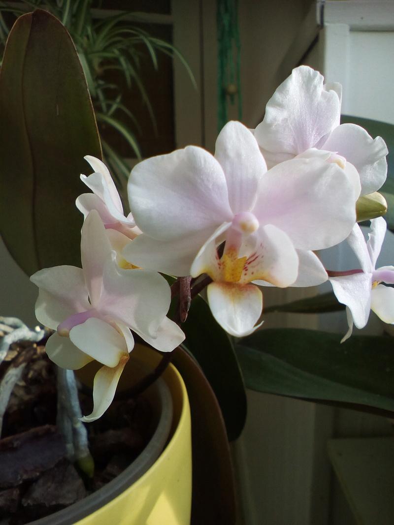 Phalaenopsis hybrides Img_2028