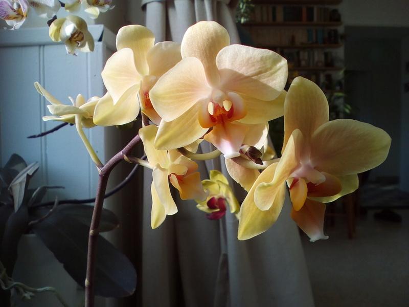 Phalaenopsis hybrides Img_2031