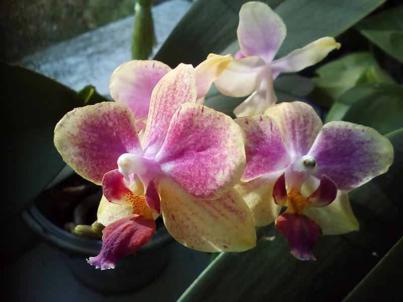 Phalaenopsis hybrides Img_2036