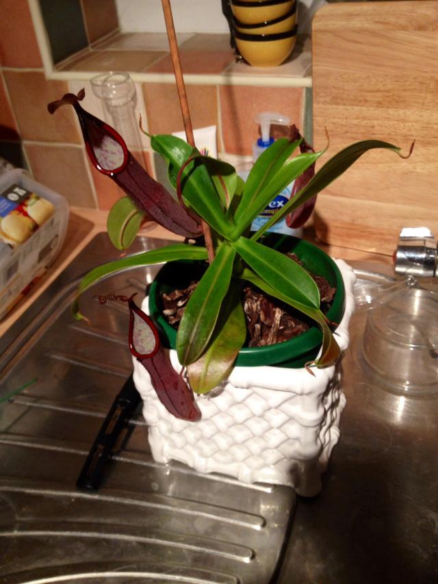 """Quelles différences entre Nepenthes """"Rebecca Soper"""" et Nepenthes sanguinea """"Black Beauty""""  N5cejy10"""