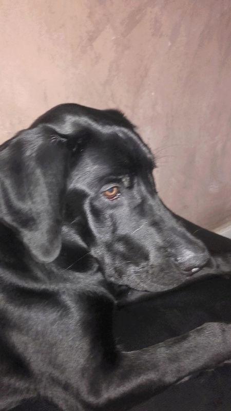 Notre Etoile Sirius 1er chien de la maison (type labrador) - Page 2 Sirius11