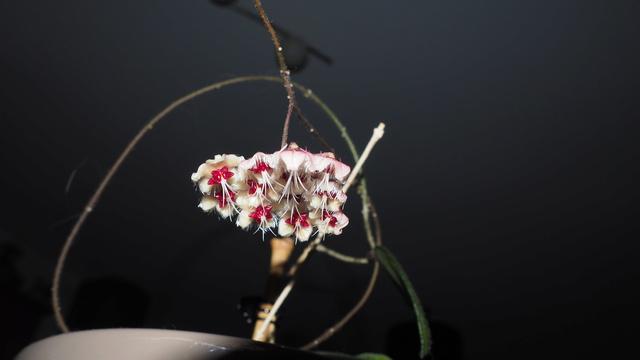 Hoya flagellata P9260110