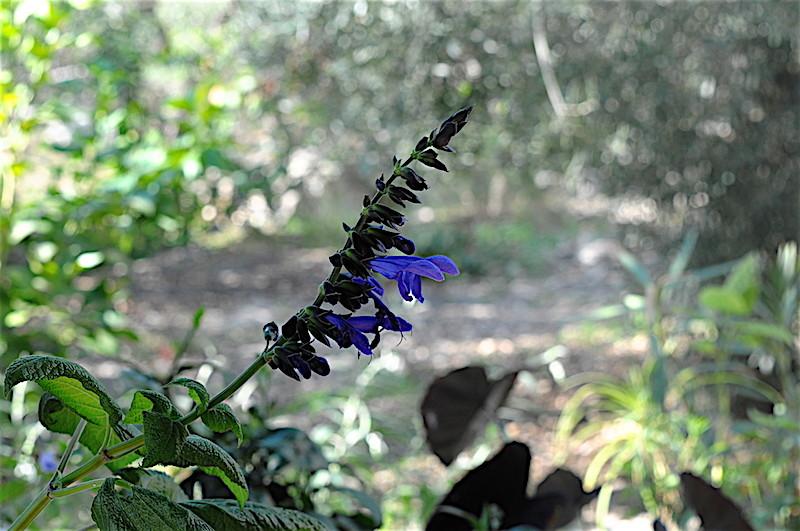 Salvia guaranitica [Identification] Copia_13