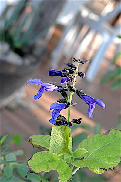 Salvia - les floraisons du moment - Page 18 Copia_32