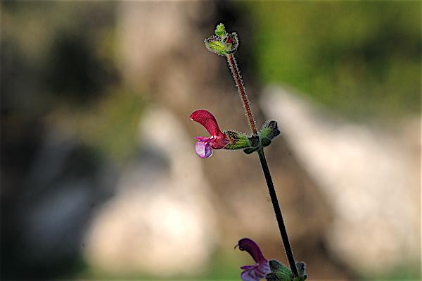 Salvia - les floraisons du moment - Page 18 Copia_33