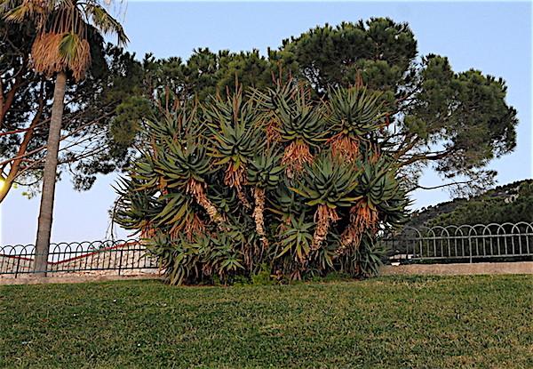 Aloe sp. côte d'azur [Identification à suivre] Copia_46
