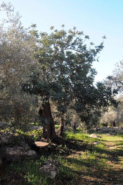 Ceratonia siliqua - caroubier - Page 2 Copia_47