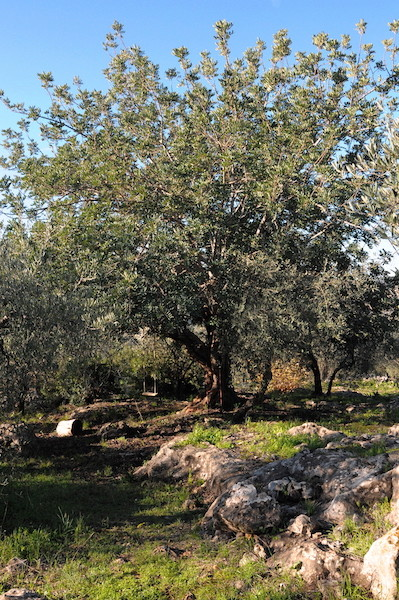 Ceratonia siliqua - caroubier - Page 2 Copia_48