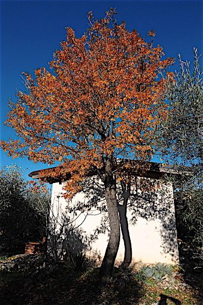 Sorbus domestica - cormier Copia_49