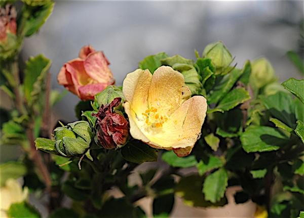 Pavonia praemorsa Copia_52