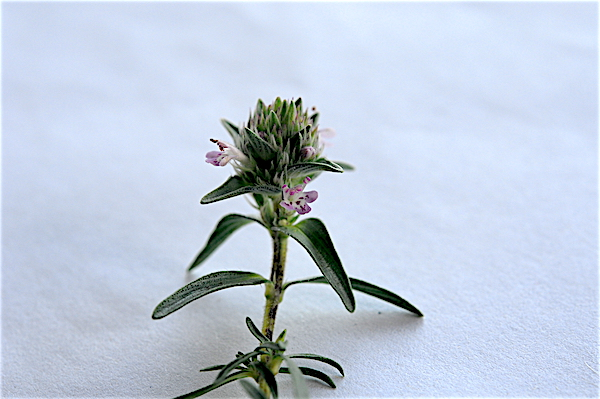 Satureja subspicata [identification non confirmée] Copia_66