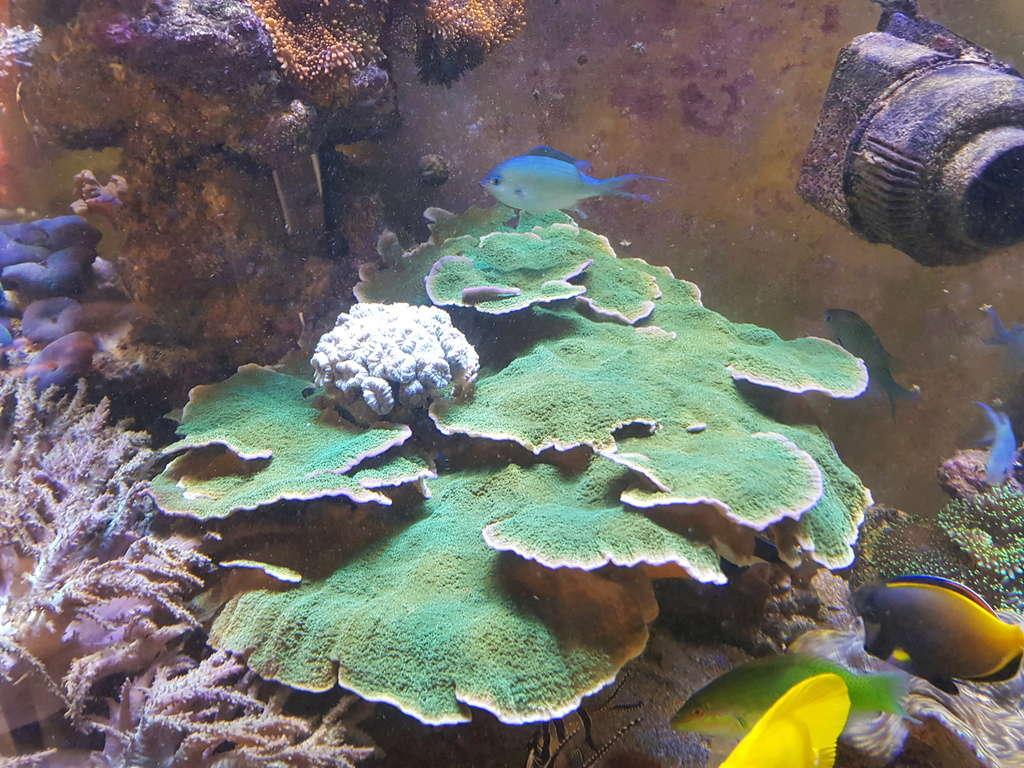 coraux durs Acropora 20180317