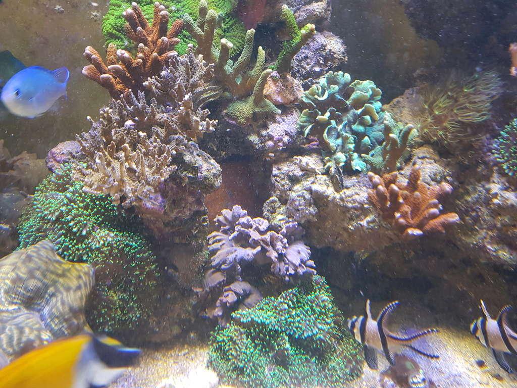coraux durs Acropora 20180318