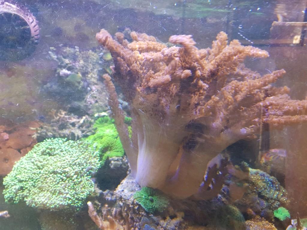 coraux durs Acropora 20180319