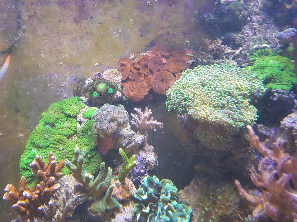 coraux durs Acropora 20180320