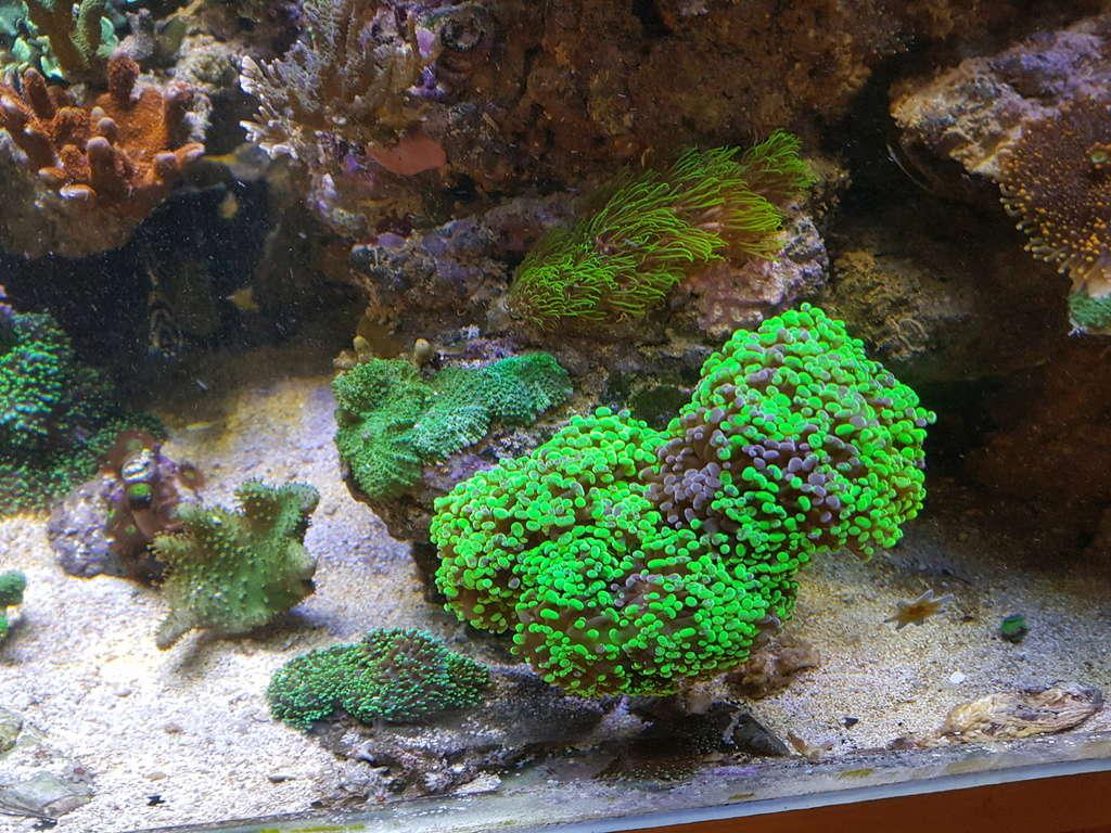 coraux durs Acropora 20180321