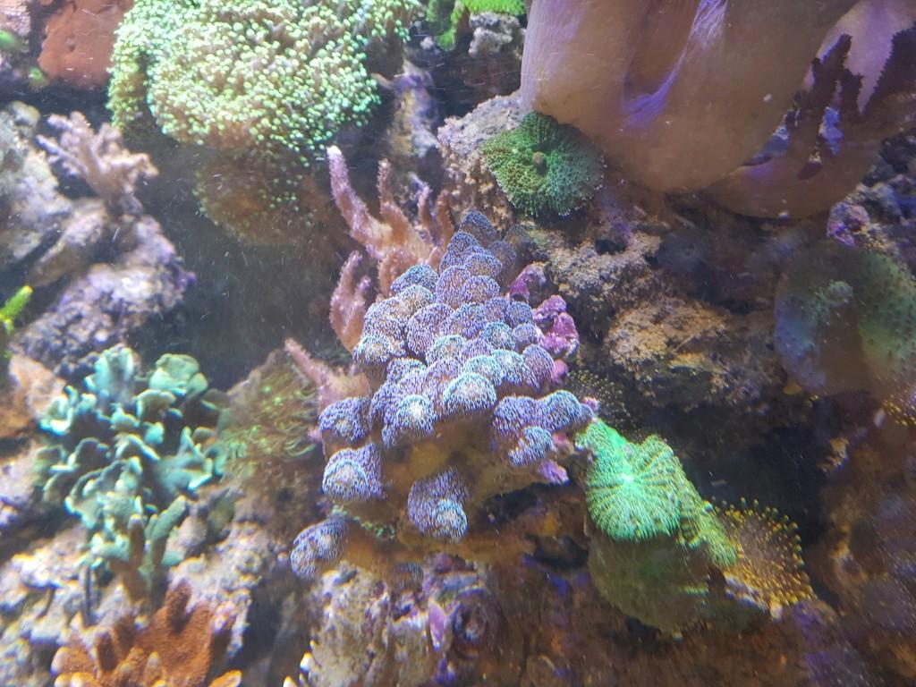 coraux durs Acropora 20180322