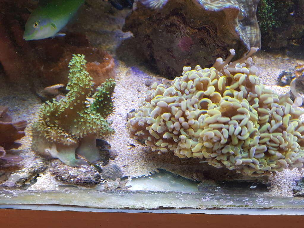 coraux durs Acropora 20180324