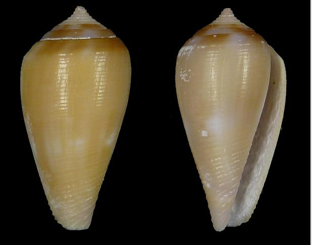 Leporiconus tenuistriatus (G. B. Sowerby II, 1858) - juvénile Sans_t11
