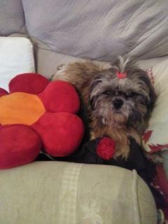 GAVOTTE - belle Shih Tzu de 6 ans - réformée d'élevage  Chouch10