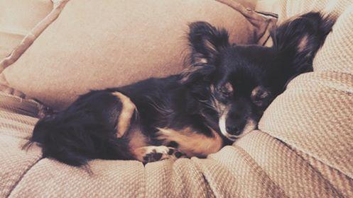 IDYLLE, drôle de vie pour cette Chihuahua de 4 ans !! Dod210