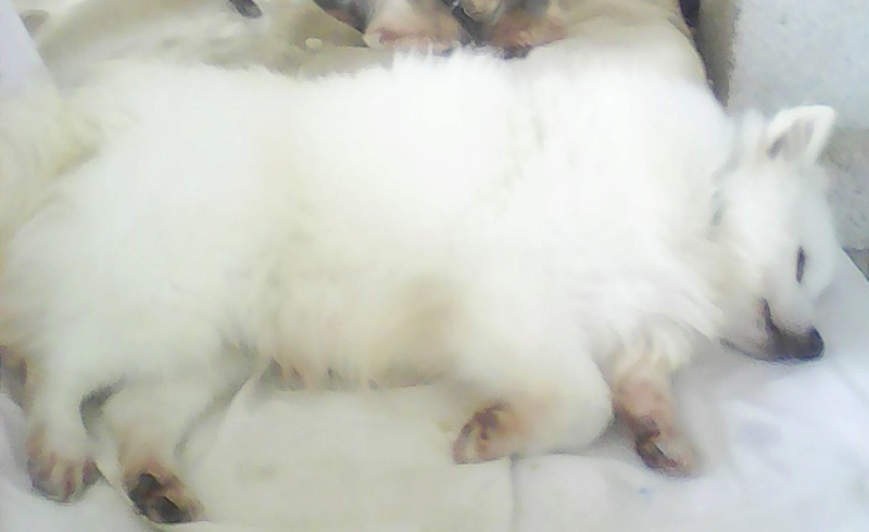 FLORIDA, jolie Spitz Japonais de 7 ans 1/2, réformée d'élevage Img00910