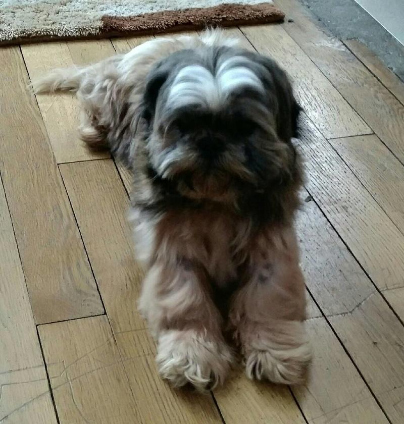 GAVOTTE - belle Shih Tzu de 6 ans - réformée d'élevage  Part_113