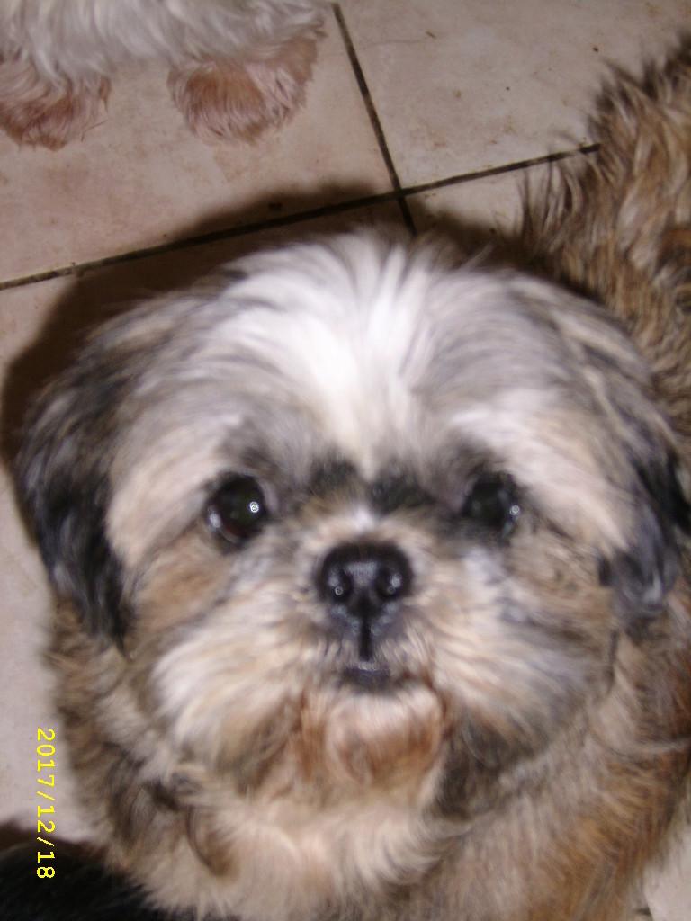 GAVOTTE - belle Shih Tzu de 6 ans - réformée d'élevage  Ssa56930