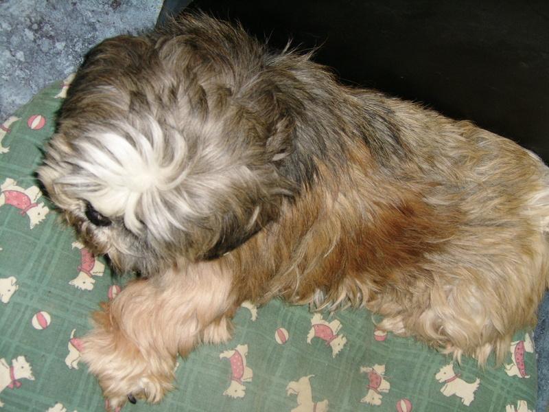 GAVOTTE - belle Shih Tzu de 6 ans - réformée d'élevage  Ssa57010