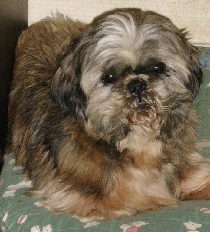 GAVOTTE - belle Shih Tzu de 6 ans - réformée d'élevage  Ssa57011