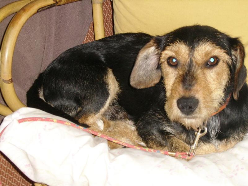 KAPRICE, gentil croisé Teckel / Terrier de 3 ans Ssa57023