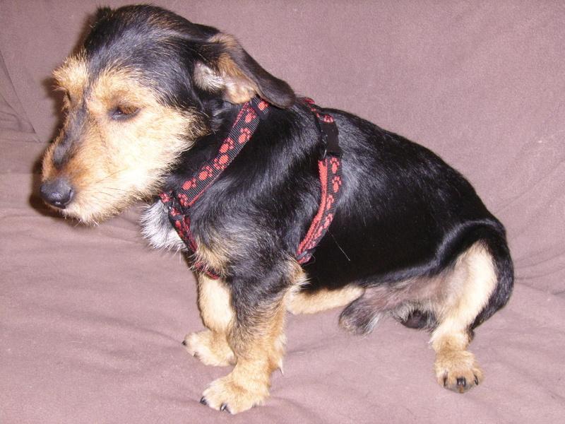 KAPRICE, gentil croisé Teckel / Terrier de 3 ans Ssa57024
