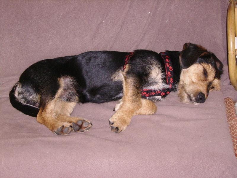 KAPRICE, gentil croisé Teckel / Terrier de 3 ans Ssa57025