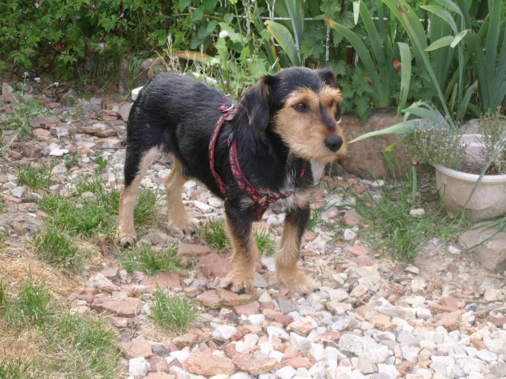 KAPRICE, gentil croisé Teckel / Terrier de 3 ans Ssa57028