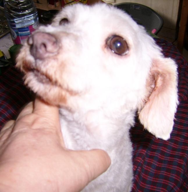 FITNESS, toute mignonne Coton de Tuléar de 7 ans, réformée d'élevage Ssa57029
