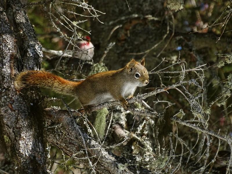 Écureuil roux Dsc04114