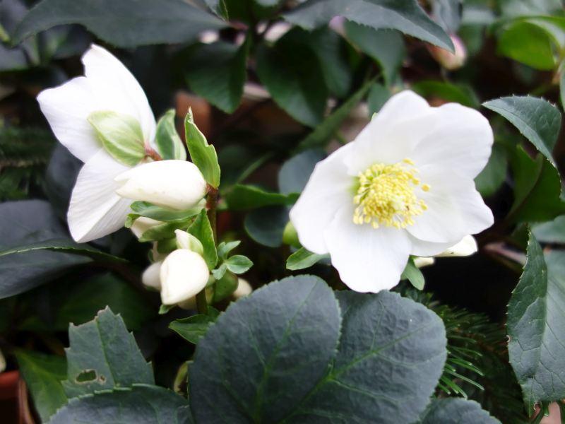 Hahnenfußgewächse (Ranunculaceae) - Winterlinge, Adonisröschen, Trollblumen, Anemonen, Clematis, uvm. - Seite 8 Dsc07718