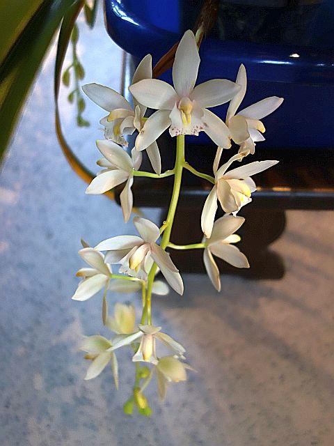 Orchideen 2 (fortlaufende Seiten 200 bis 300) - Seite 96 Dsc07727