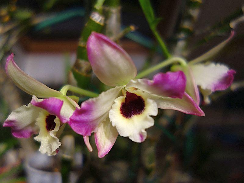 Orchideen 3 (fortlaufende Seiten 300 bis 400) - Seite 2 Dsc07912