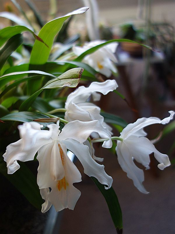 Orchideen 3 (fortlaufende Seiten 300 bis 400) - Seite 6 Dsc08010