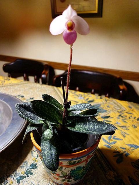 Interessante Orchideen fürs Nordfenster? Dsc08239