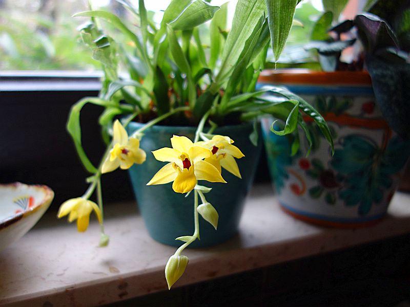 Interessante Orchideen fürs Nordfenster? Dsc08342
