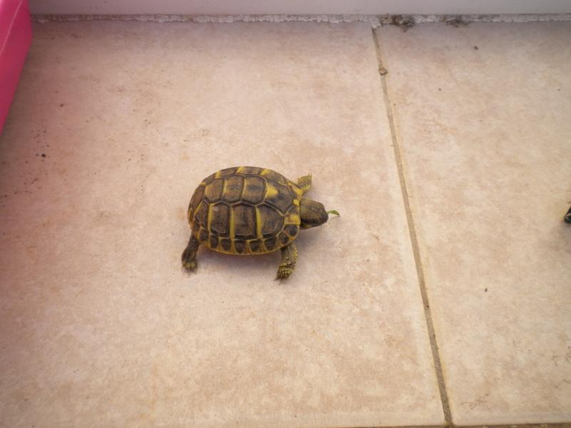 escargots géant chez hanaè et mini tortues ici !!!!   Dscn3710