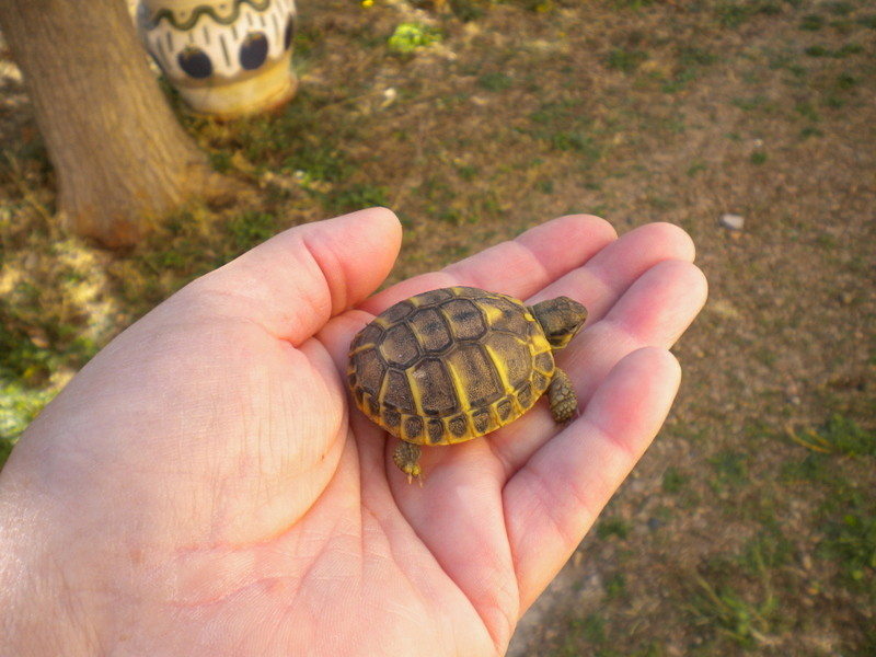 escargots géant chez hanaè et mini tortues ici !!!!   Dscn3711