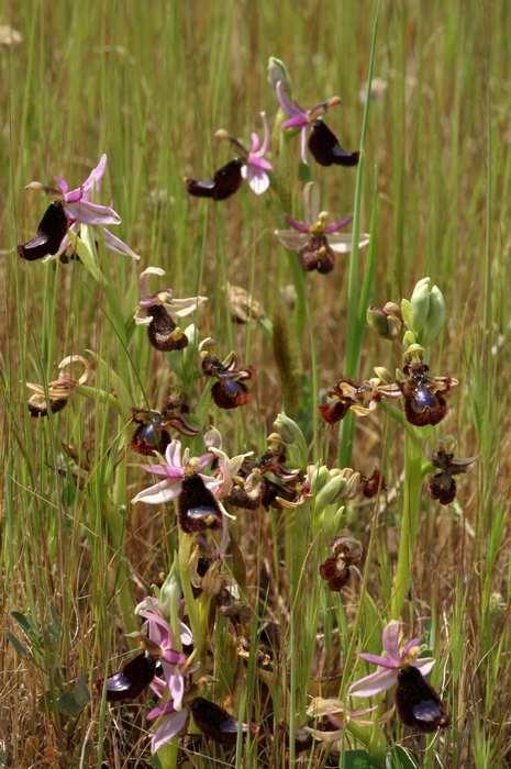 Ophrys miroir histoire de speculer un peu...) Copie_10